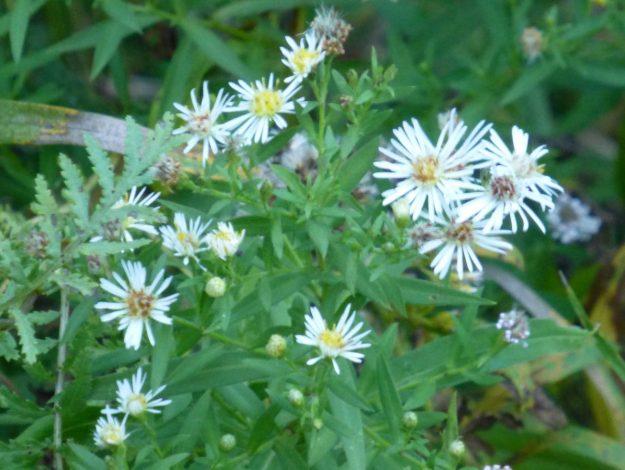 Panicled Aster (Symphyotrichum lanceolatum)
