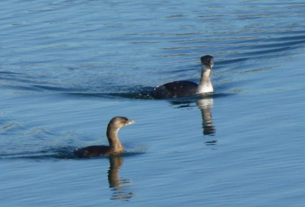 Pied-billed Grebe and Horned Grebe