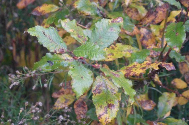 European Pussy Willow (Salix caprea)