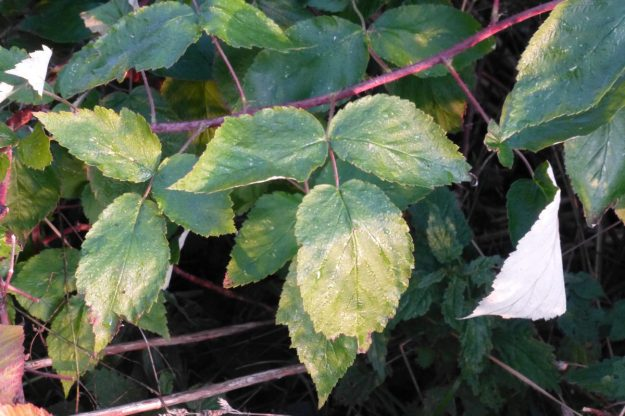 Red Raspberry (Rubus odoratus)
