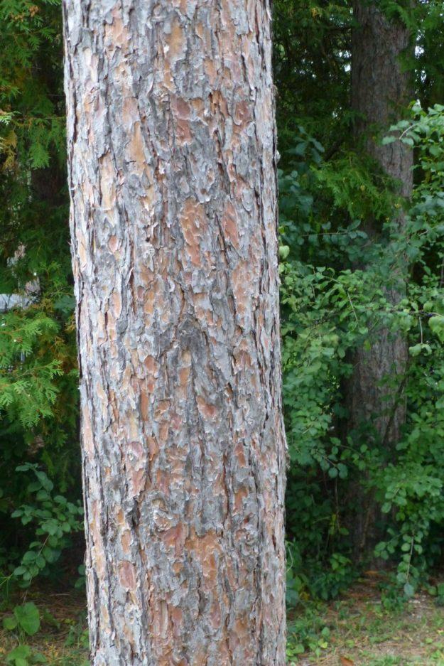 Red Pine (Pinus resinosa)