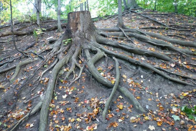 White Ash trunk and roots (Fraxinus americana)