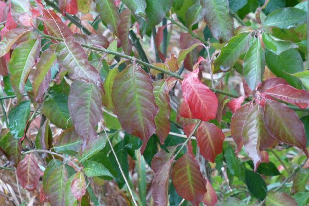Spindle Tree (Euonymus europaea)