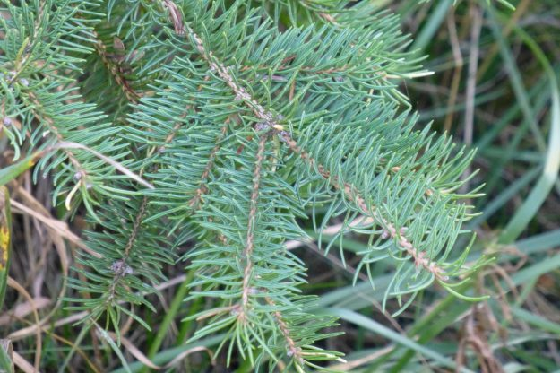 White Spruce (Picea abies)