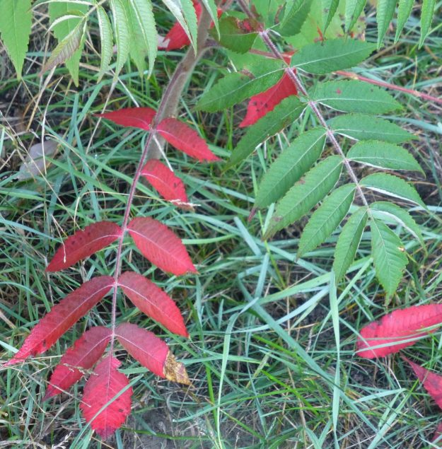 Staghorn Sumac (Rhus typhina)