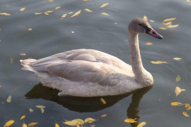 Trumpeter Swan (Immature)