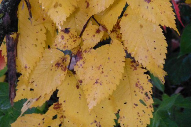White Elm (Ulmus americana)