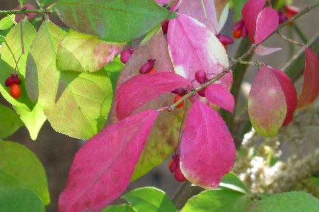 Winged Euonymus (Euonymus alata)