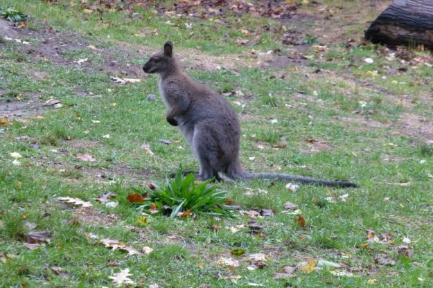 Wallaby (High Park Zoo)