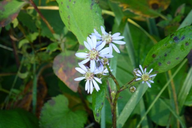 Arrow-leaved Aster (Symphyotrichum urophyllum)