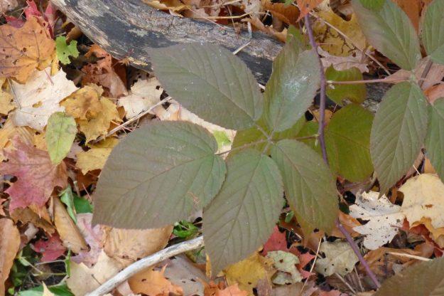 Blackberry (Rubus allegheniensis)