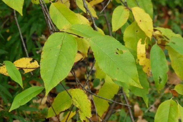 Black Cherry (Prunus serotina)