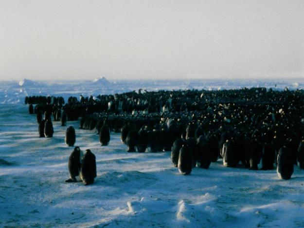 Emperor Penguin Colony (photo: wikipedia)