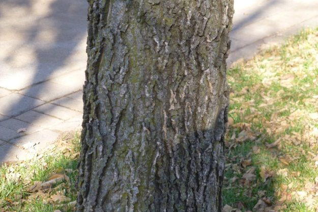 Hackberry (Celtis occidentalis)