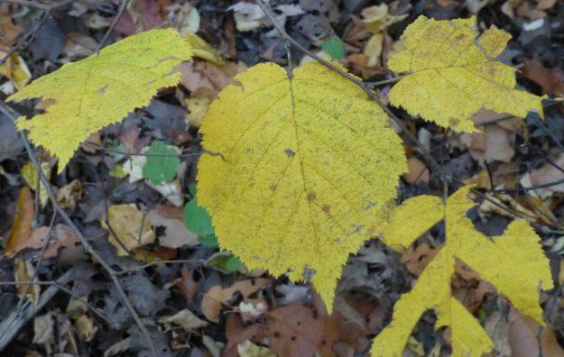 Beaked Hazel (Corylus cornuta)