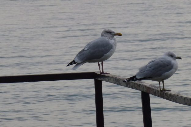 Herring Gull (left) and Ring-billed Gull (right)