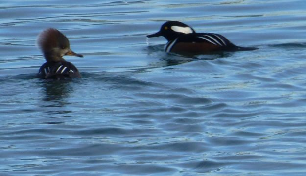 Hooded Mergansers