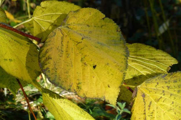 Linden (Tilia cordata)