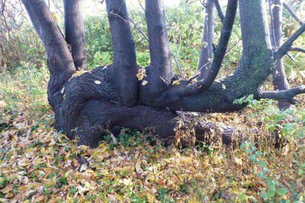 Manitoba Maple (Acer negundo)