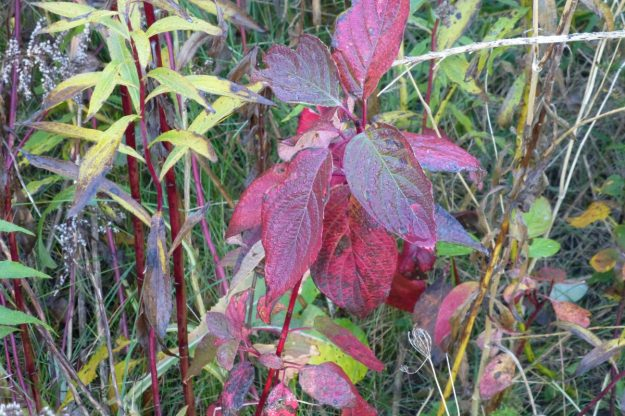 Red Osier Dogwood (Cornus servicea)