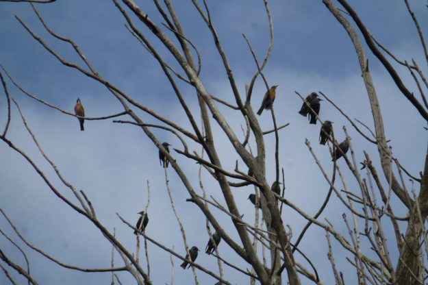 Robins and Starlings