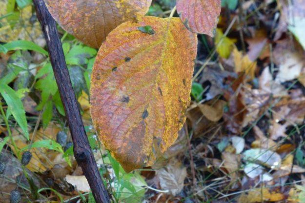 Round-leaved Dogwood (Cornus rugosa)