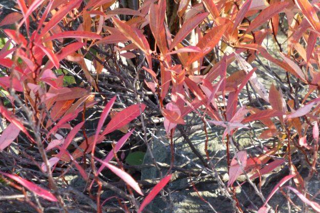 Sand Cherry (Prunus pumila)