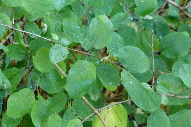 Tartarian Honeysuckle (Lonicera tatarica)