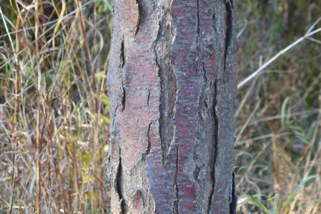 Thornless Honey Locust (Gleditsia triancanthos f. inermis)
