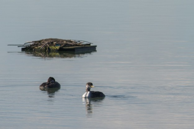 Red-necked Grebes (photo: Lillian Natalizio)