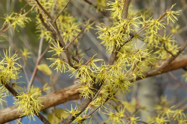 Witch Hazel (Hamamelis virginiana)
