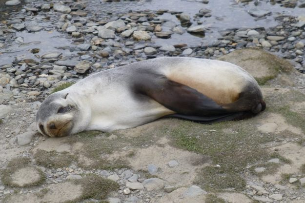 Leucistic Fur Seal