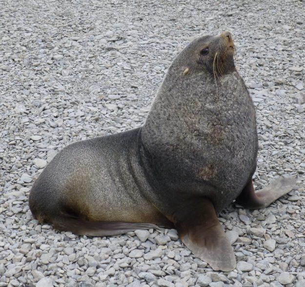 Male Fur Seal