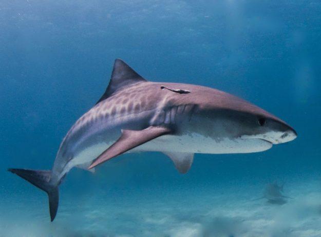 Shark (photo: wikimedia)